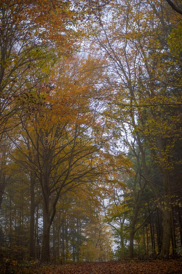 Tall fall yellow orange forrest wooden trees. When the fall colors the beautiful forrest with yellow and orange we know the winter is coming royalty free stock photos