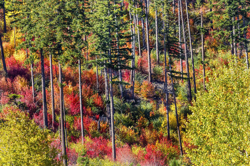 Fall Colors Mountain Sides Forest Stevens Pass Washington. Fall Colors Mountain Sides Forest Stevens Pass Leavenworth Washington royalty free stock photography