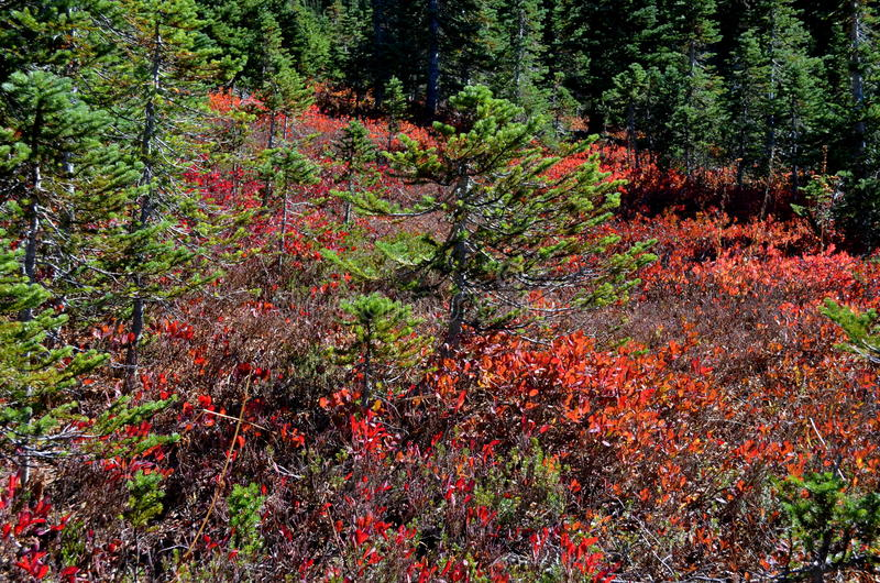 Fall colors, Mt. Rainier Forest stock photos