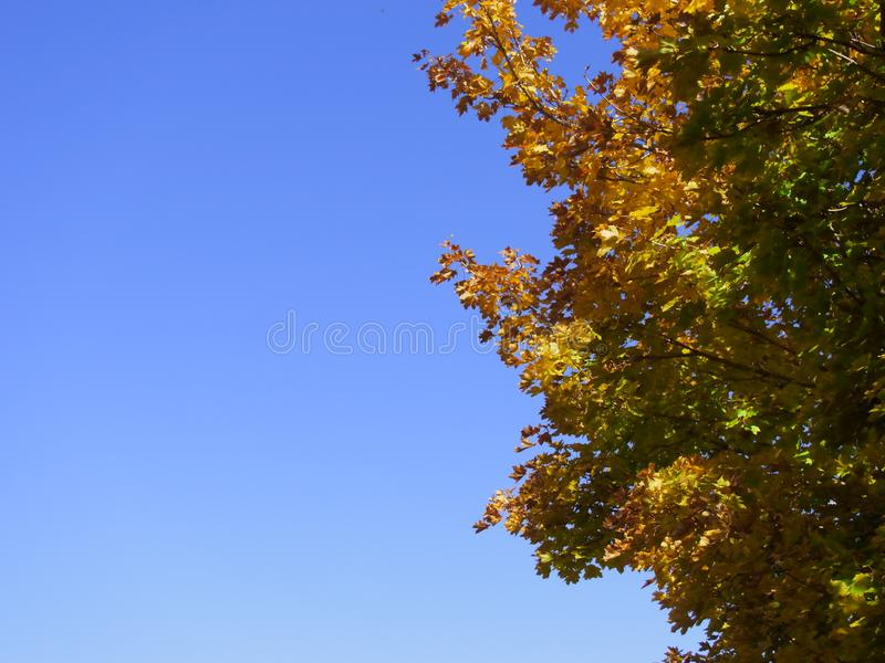 Fall colors on right. Stunning fall colors on maple leaves in a park with a bright blue sky providing lots of choppy space royalty free stock photos