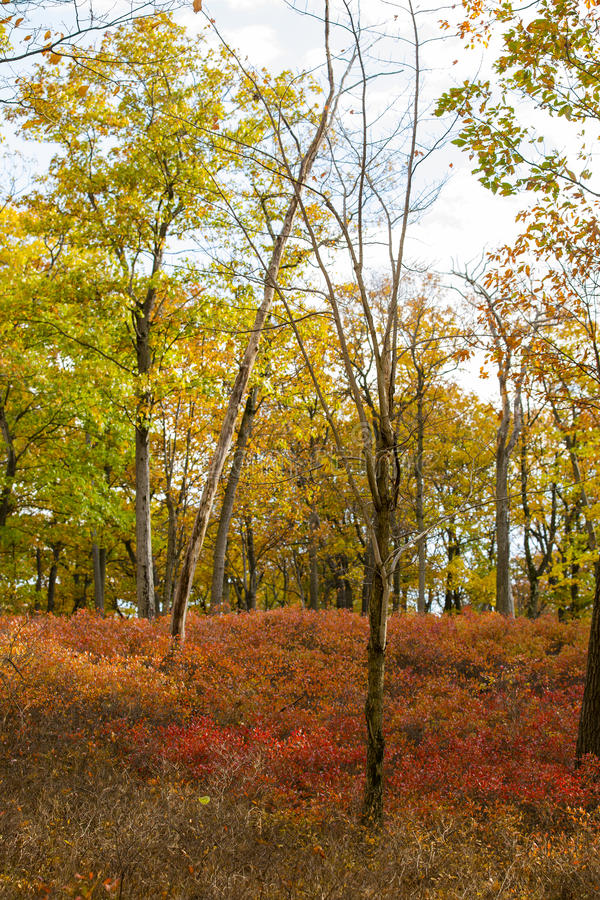 Fall Colors in the Woods royalty free stock photography