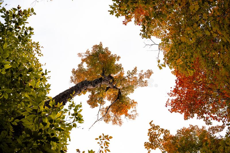 Fall colour seen from bellow, viewing straight up, , on King Mountain trail. Sky turns white, but trees are orange and red. A forest of trees turning red and stock images