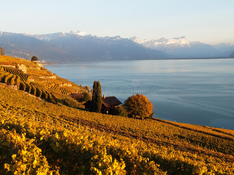 Fall Colours at Saint-Saphorin vineyards in Switzerland. View From St. Saphorin Towards Montreux during Sunset which gives the vineyards their unique golden stock photos