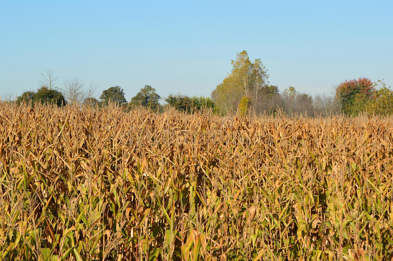 Fall Crop Pre-harvest royalty free stock image
