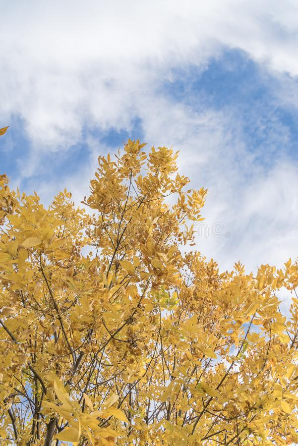 Fall foliage background of yellow Texas Cedar Elm leaves royalty free stock image