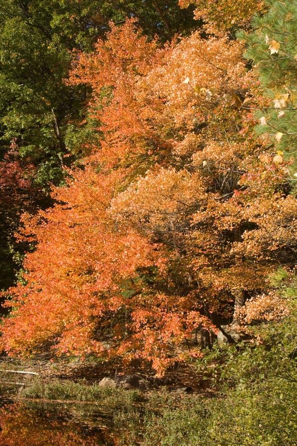 Fall Foliage blazing in the autumn sun royalty free stock image