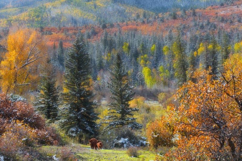 Fall foliage in Colorado royalty free stock image