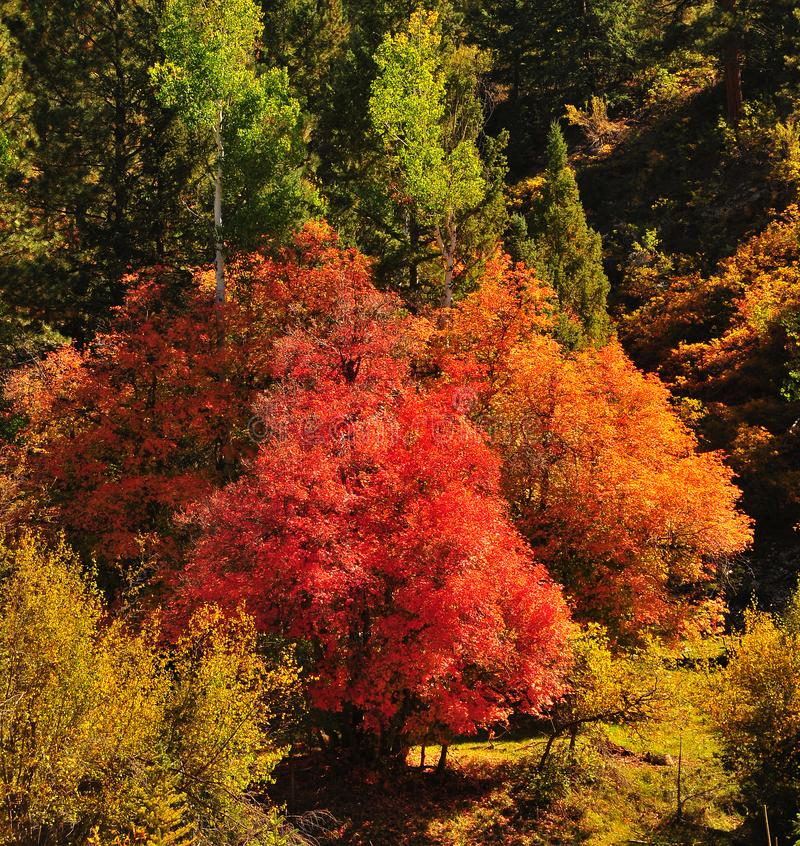 Fall Foliage on Red Maple Trees showing off their Autumn Colors. Walking through the beautiful red leaves on maple trees in Utah in the fall showing off their stock images