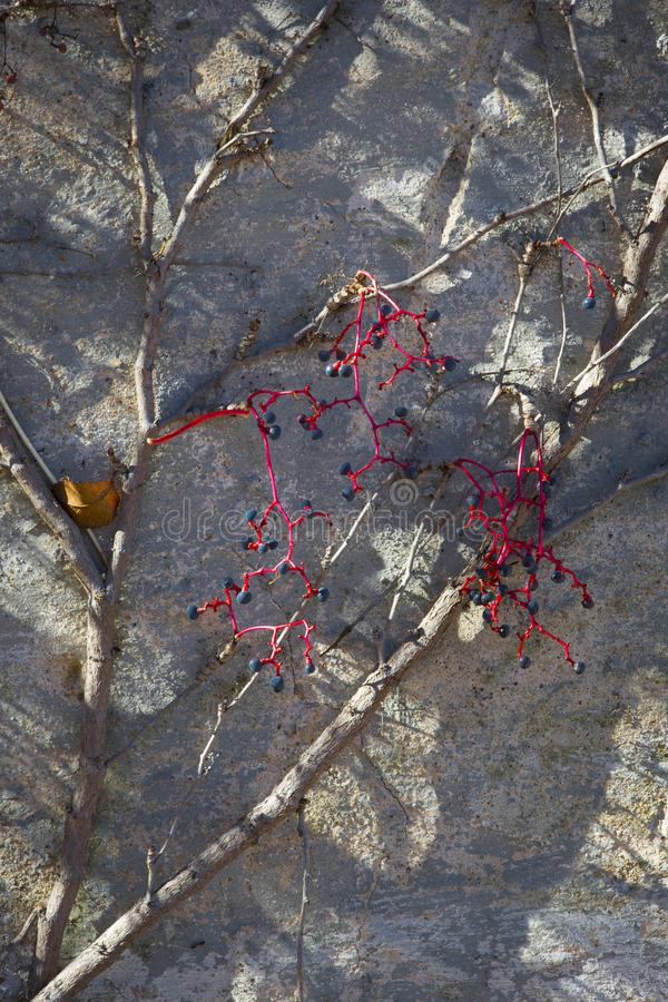 Fall foliage vines and berries on wall close up royalty free stock photography