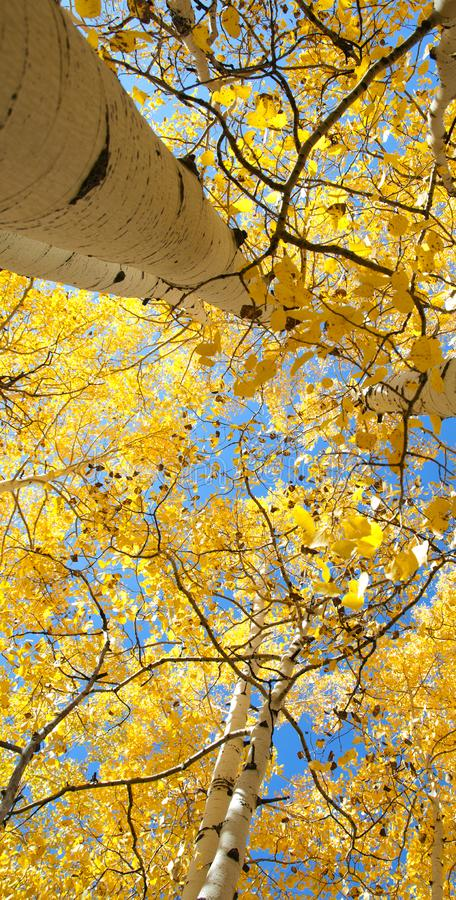 Fall Foliage on Yellow Aspen Trees showing off their Autumn Colors. Beautiful yellow leaves on aspen trees in Utah in the fall showing off their autumn colors royalty free stock images