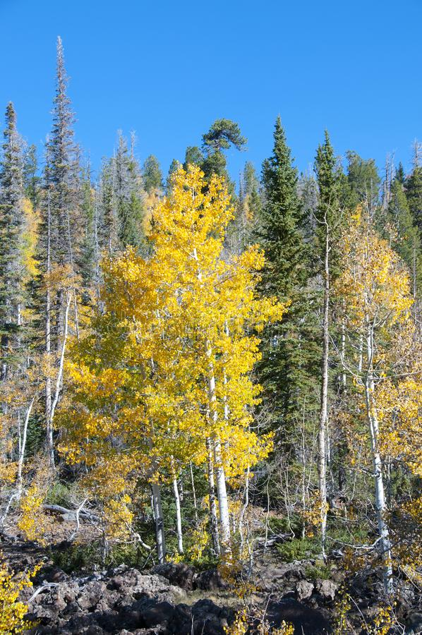 Fall Foliage on Yellow Aspen Trees showing off their Autumn Colors. Beautiful yellow leaves on aspen trees in Utah in the fall showing off their autumn colors stock image