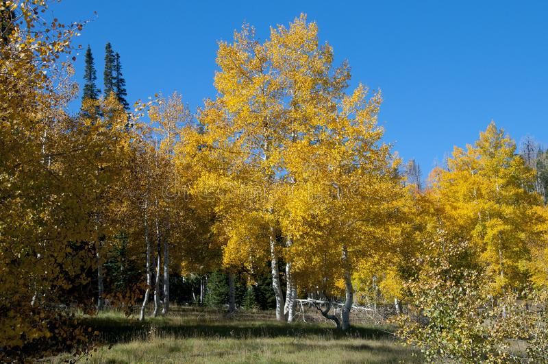 Fall Foliage on Yellow Aspen Trees showing off their Autumn Colors. Beautiful yellow leaves on aspen trees in Utah in the fall showing off their autumn colors royalty free stock image