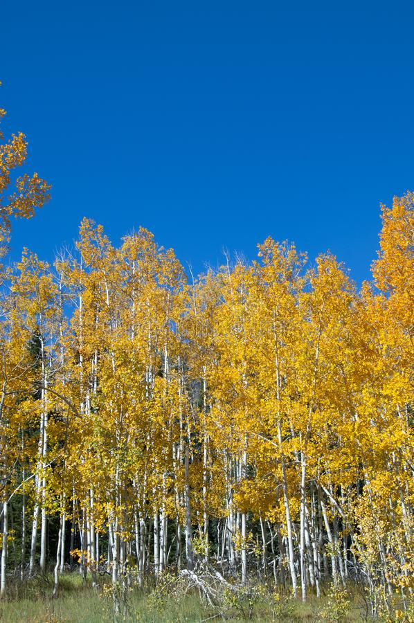 Fall Foliage on Yellow Aspen Trees showing off their Autumn Colors. Beautiful yellow leaves on aspen trees in Utah in the fall showing off their autumn colors stock images