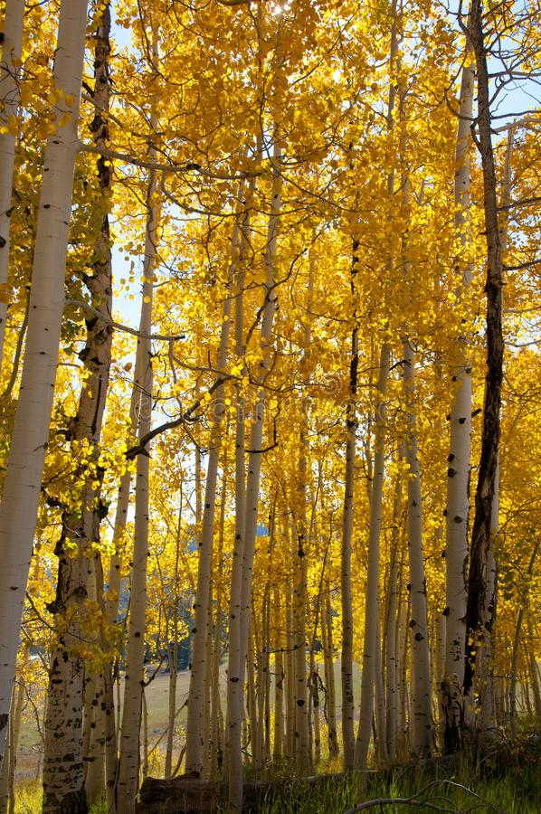 Fall Foliage on Yellow Aspen Trees showing off their Autumn Colors. Walking through the beautiful yellow leaves on aspen trees in Utah in the fall showing off stock photo
