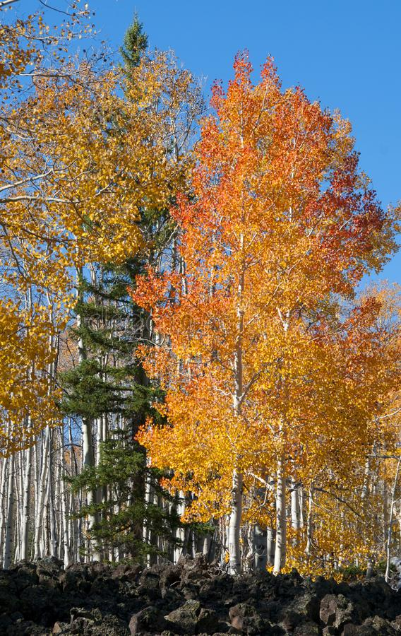 Fall Foliage on Yellow Aspen Trees showing off their Autumn Colors. Walking through the beautiful yellow leaves on aspen trees in Utah in the fall showing off royalty free stock photography