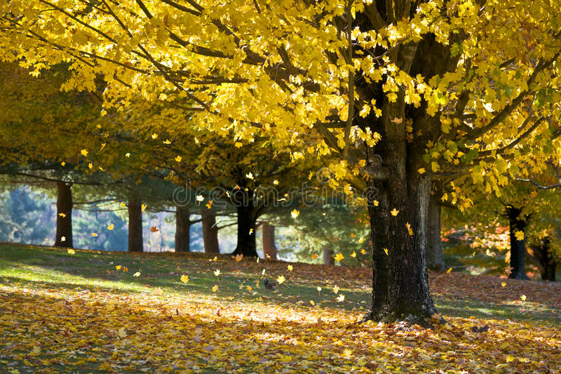 Fall Foliage Yellow Maple Leaves From Autumn Tree royalty free stock photos