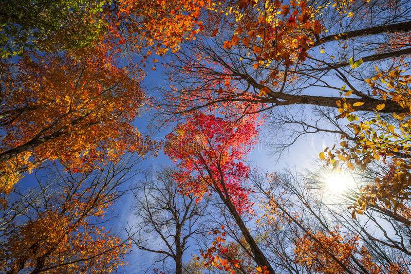 Fall forest canopy with sun shining though. Colorful autumn treetops in fall forest with blue sky and sun shining though trees. Algonquin Park, Ontario, Canada royalty free stock photography