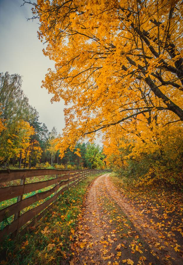 Fall forest, golden trees. Fall forest at a day time, colorful trees, vertical image royalty free stock photo