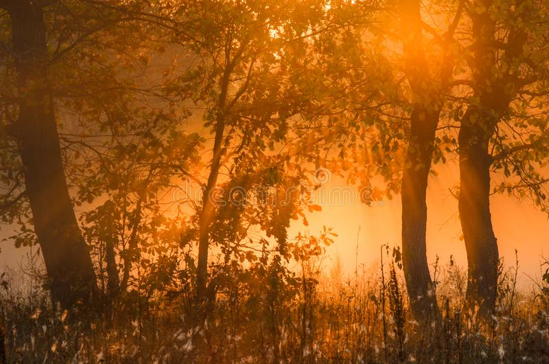 Fall forest, fog, morning, evening, bright yellow sun. Rare beau royalty free stock photography