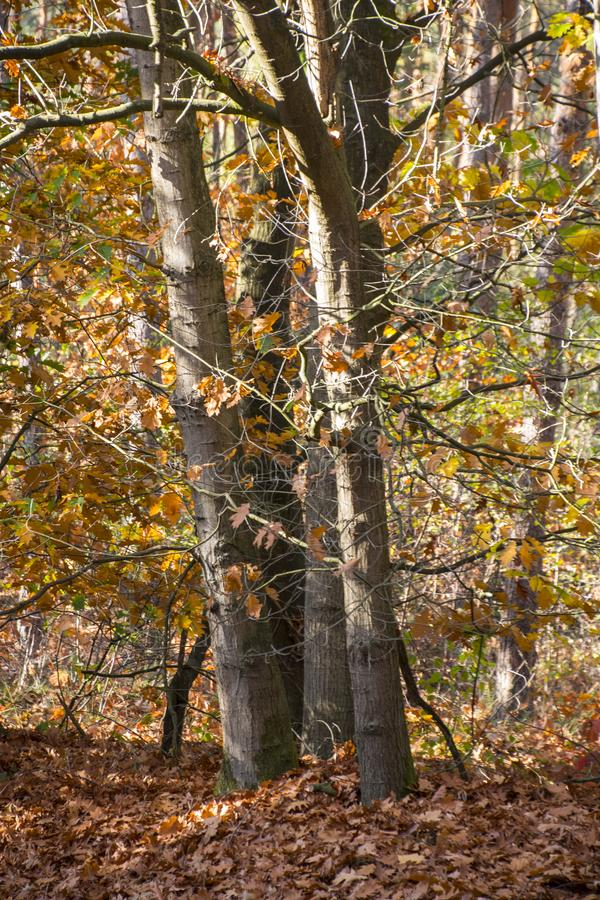 Fall forest landscape. Dry fall leaves covering the ground and forest fall trees under soft sunlight. Colorful fall forest landsca stock images