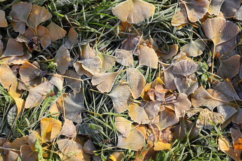 Download Fall frozen ginkgo leaves stock photo. Image of fall - 36264680