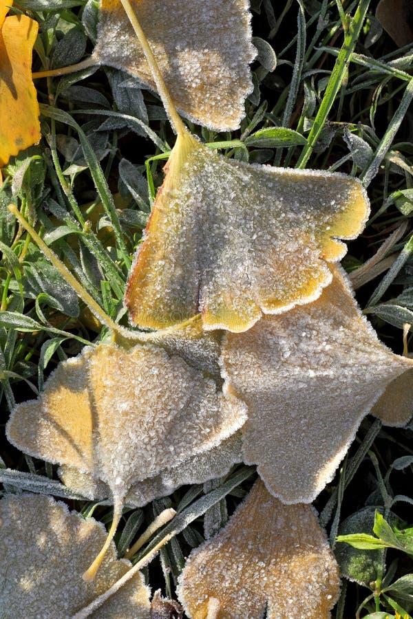 Fall frozen ginkgo leaves