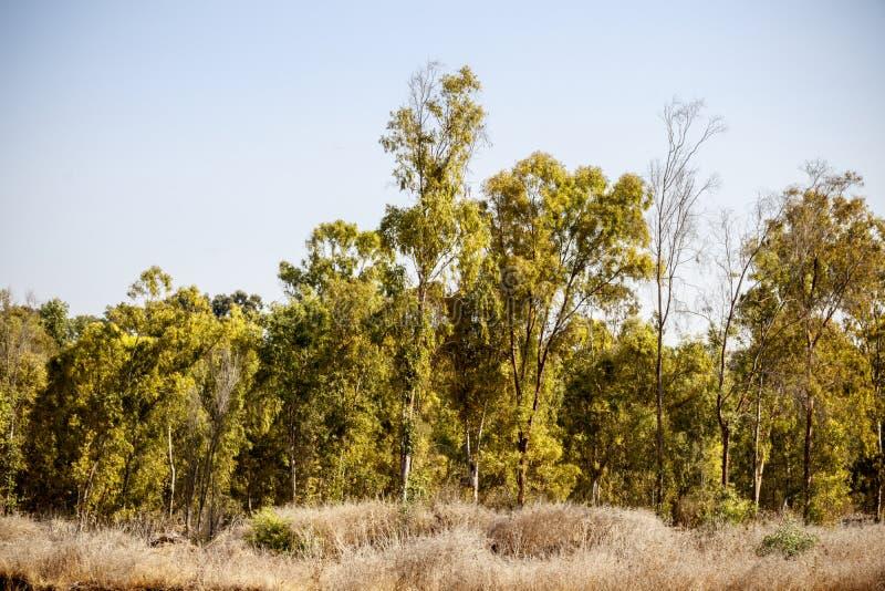 Fall, a grove of eucalyptus trees royalty free stock photos