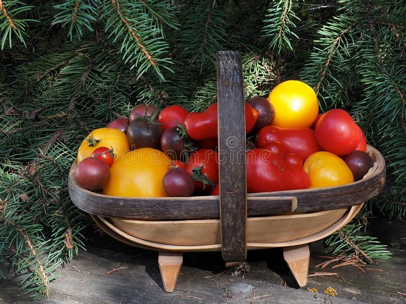 Multicoloured Tomatoes In A Trug. Fall harvest of multicoloured tomatoes in a trug with blue spruce branches in the background royalty free stock photos