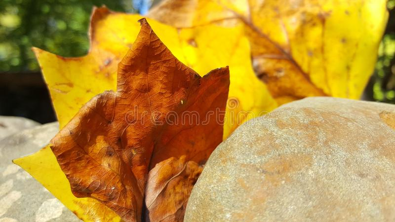 Fall is here. Bright Fall Leaves royalty free stock photos
