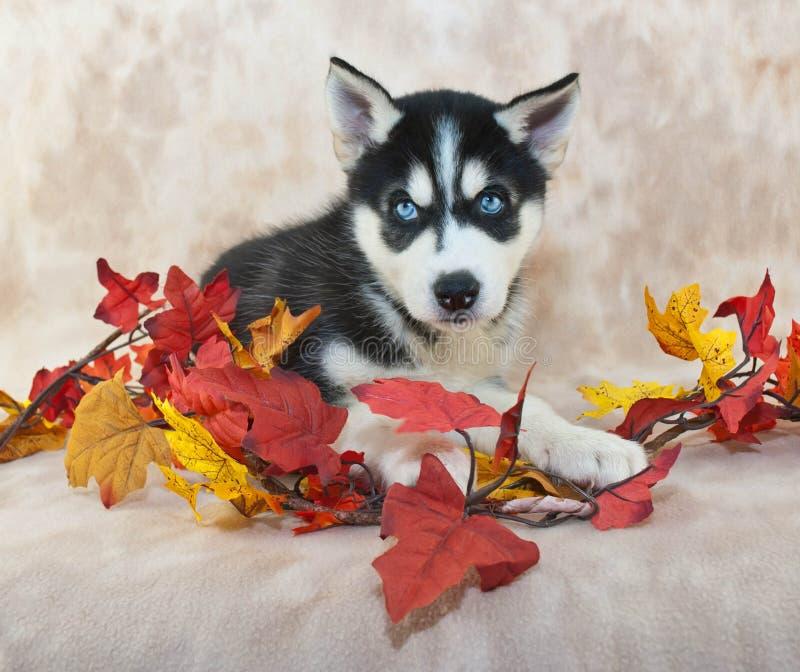 Fall Husky Puppy lizenzfreie stockfotografie