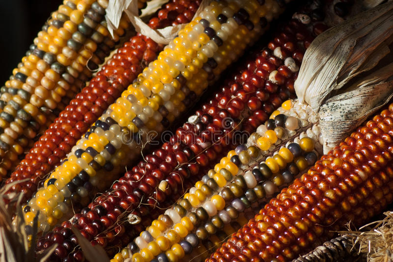Fall indian corn stock photos