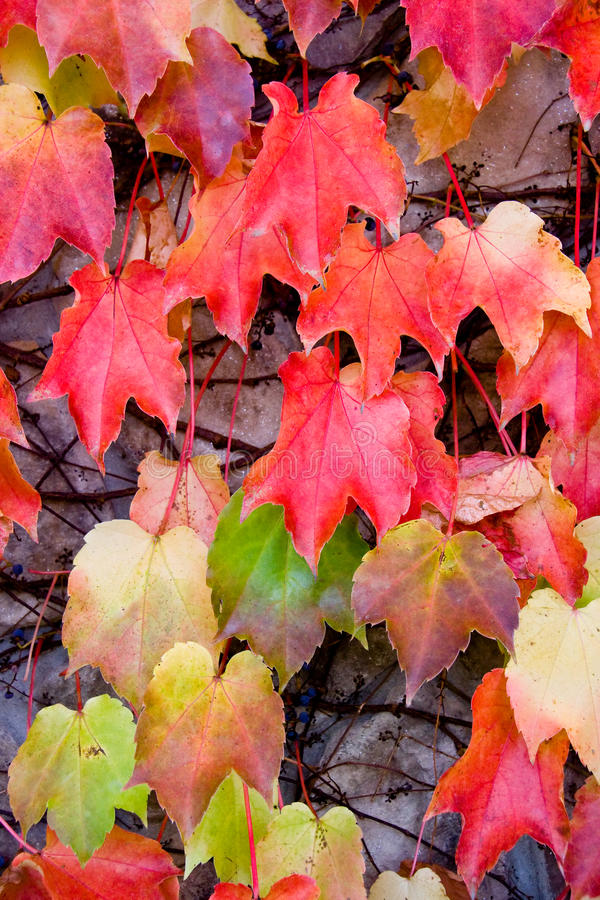 Fall Ivy Leaves royalty free stock images