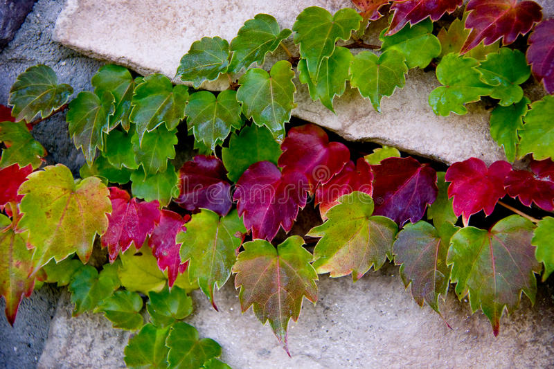 Fall Ivy Leaves. Colorful ivy leaves in the fall royalty free stock image