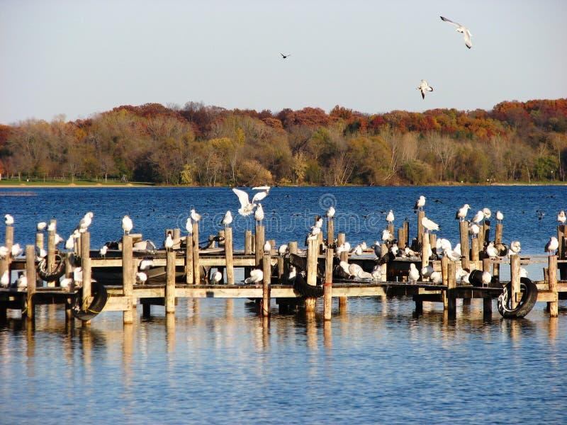 Fall-Jahreszeit und Seemöwen in Wisconsin stockfotografie