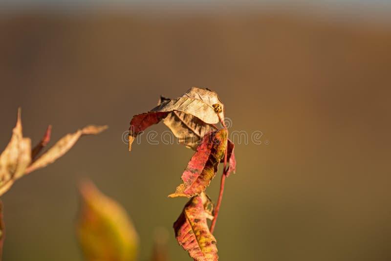 Fall Ladybug on a leaf stock photos