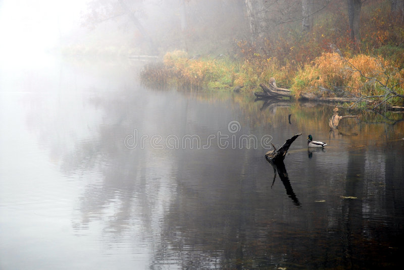 Fall At The Lake. A mallard drakes sites in the shallow park of the lake on a cool and foggy autumn morning in Missouri stock image