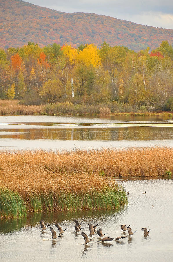 Fall landscape with flying gooses 2. Fall landscape in North America, with flying gooses stock photography