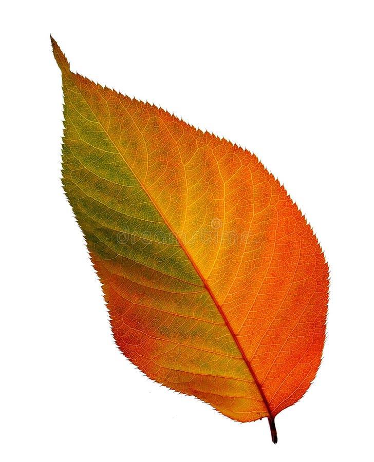 Free Fall Leaf Stock Photos - 16779553