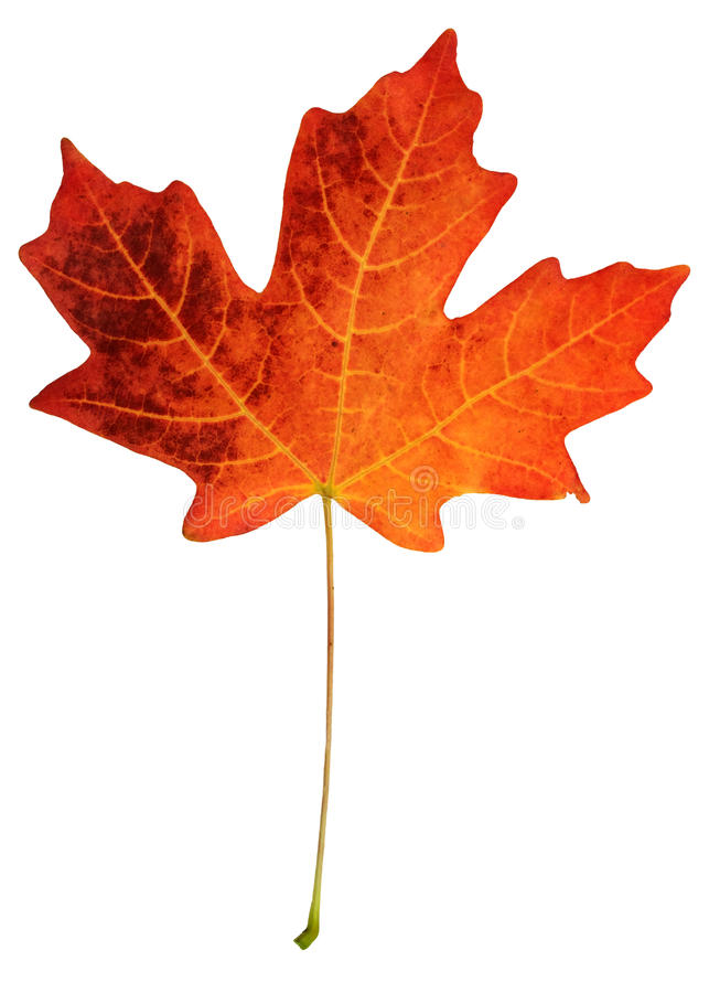 Fall leaf. Isolated on white background saved with clipping path stock images