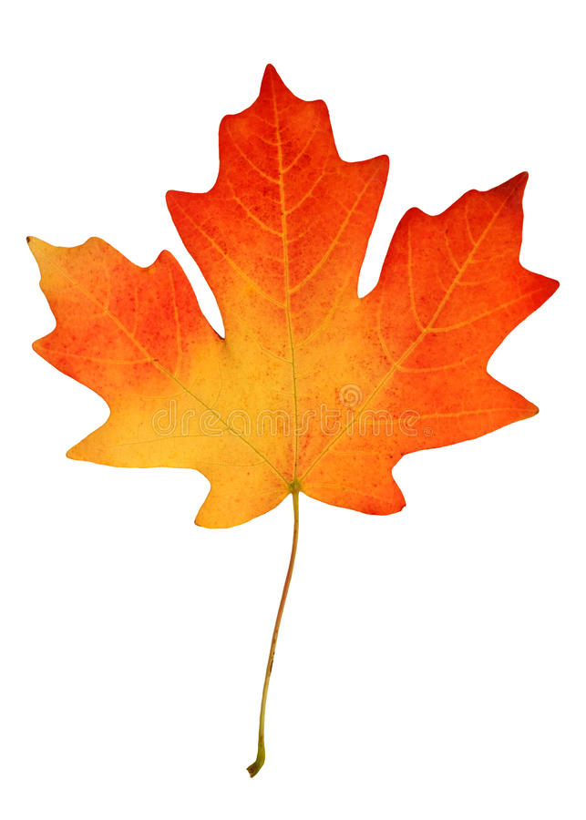 Fall leaf. On white background royalty free stock images
