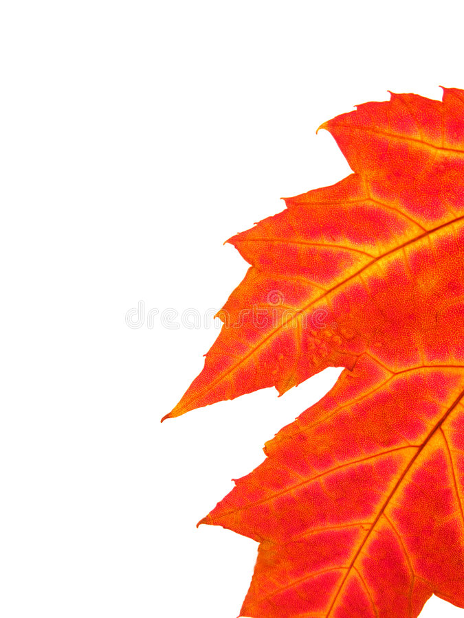 Fall leaf. Detail of colourful fall leaf isolated on white royalty free stock photos