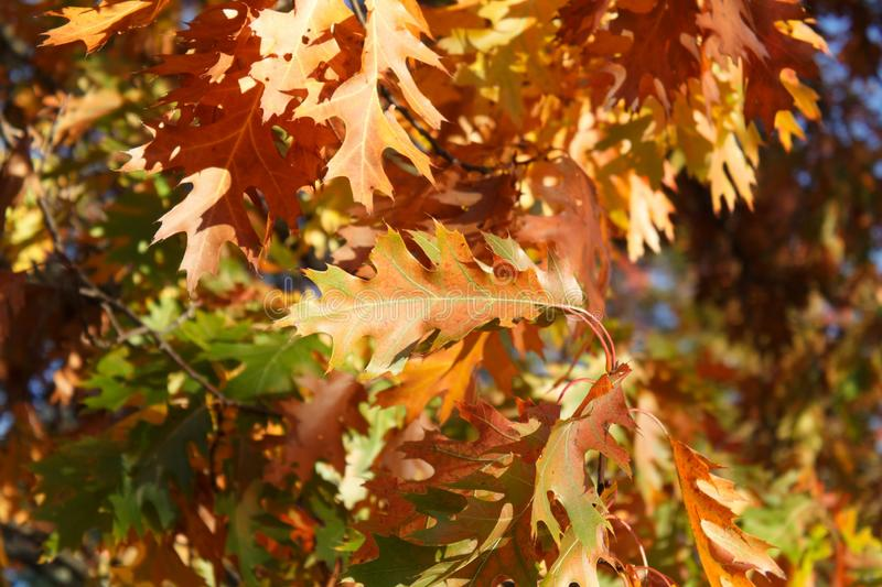 A fall leaf backgound. Full of oranges and yelows royalty free stock images