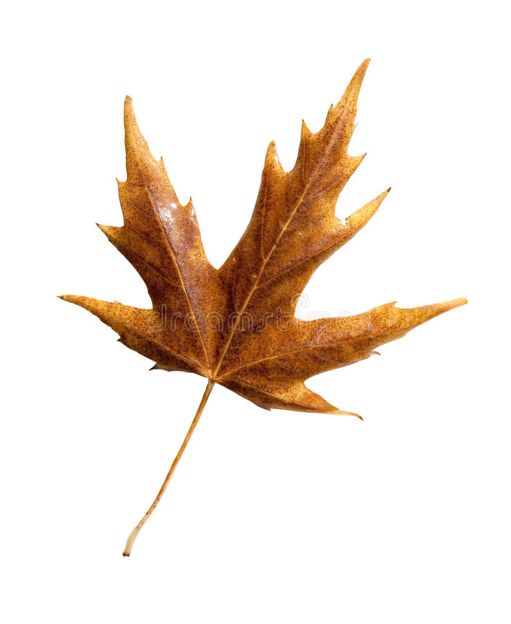 Download Fall Leaf With Clipping Path Stock Image - Image: 21108897