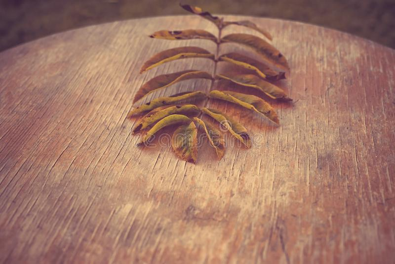 Fall leaf from a mountain ash tree on an old wooden background. top view stock image