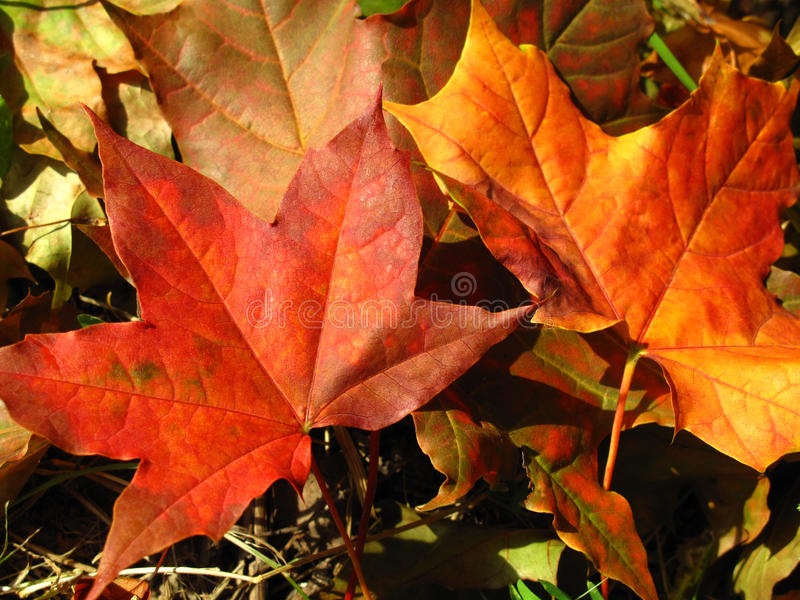 Fall leaves. Beautiful colored fall leaves - Great Autumn background royalty free stock image