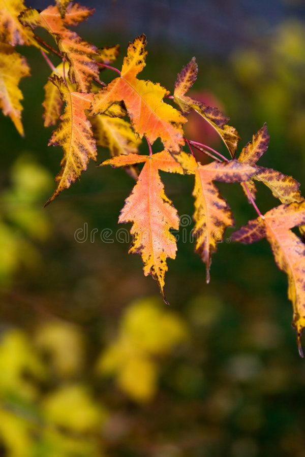 Fall Leaves. A branch of yellow with orange fall (autumn) leaves in Central Park. Blurry background royalty free stock photo
