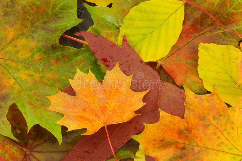 Fall leaves. Brightly colored fall leaves with water drops stock photo