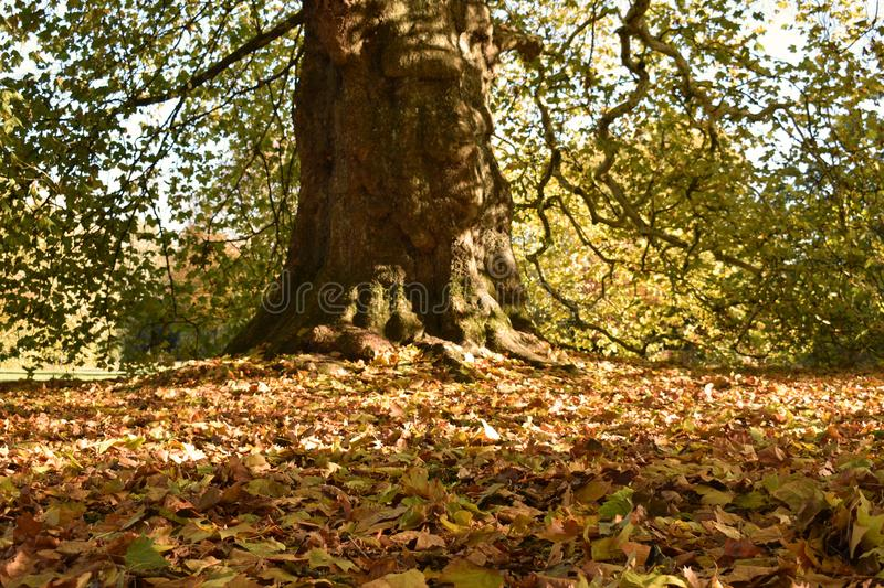 Fall leaves at the base of an ancient tree royalty free stock photography