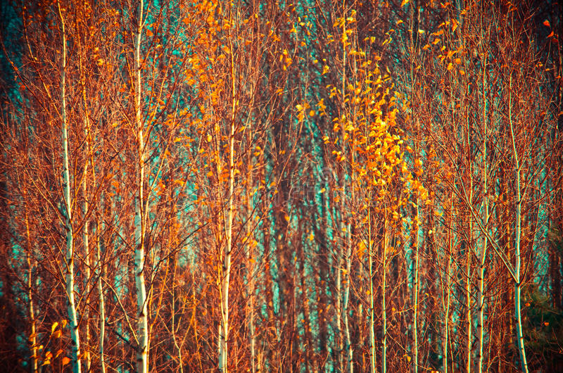 Fall leaves of birch trees royalty free stock photo