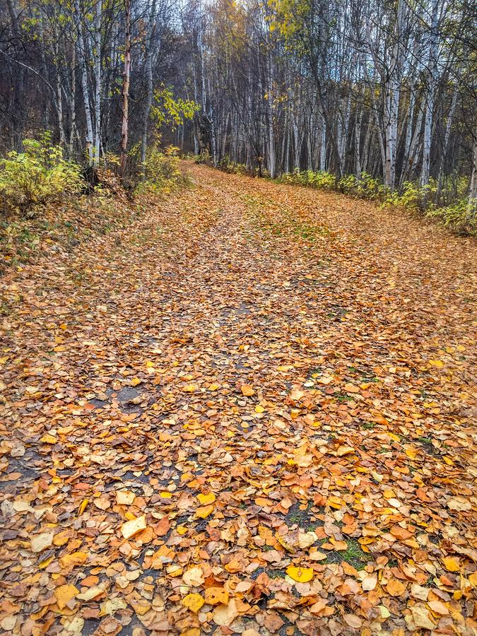 Fall leaves carpeting winding forest path, Alberta, Canada. royalty free stock photo